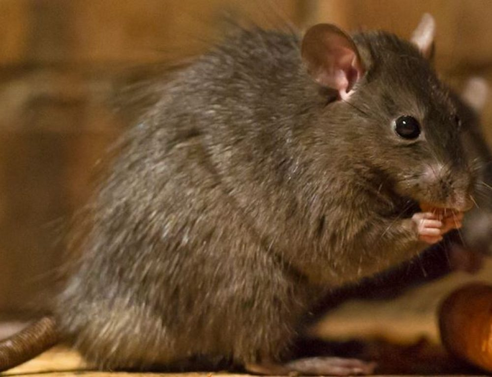 Why You Need to Take Rats Seriously