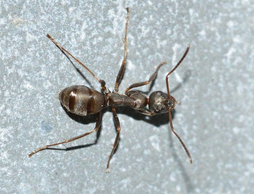 Crazy Ants – Why We Call Them Crazy Ants