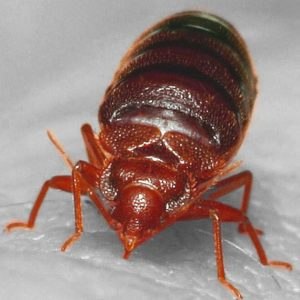 Bed Bug Control in Alabama