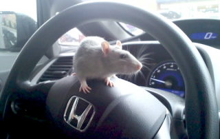 Get Rid of Mice In Car