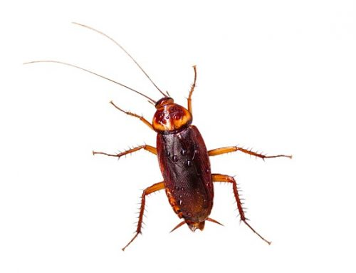 Controlling Cockroach Infestations