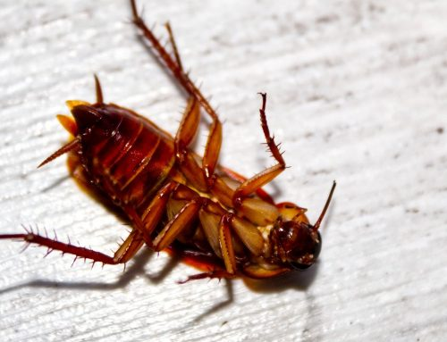 Understanding Palmetto Roaches And Why You Should Want Them Gone
