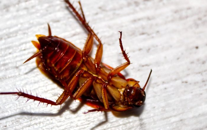 Palmetto Roaches, Why You Should Want Them Gone