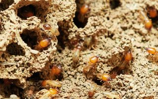Termite Infestation, Group of Termites